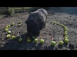 psychic pig